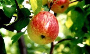 Яблоко польза реклама